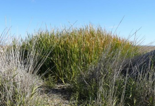 Twelve Mile Spring: top vent with Typha, whereas Phragmites is predominant elsewhere at this spring