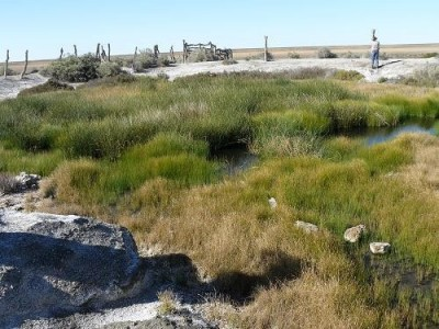 Warburton Spring, Cyperus laevigatus vent