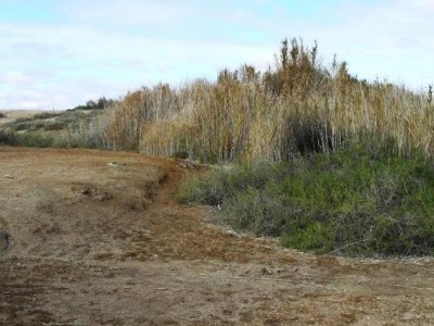 Reed proliferation