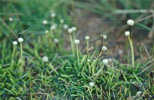 Salt pipewort (Eriocaulon carsonii) is an endangered plant that is found only at a few mound springs